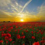 Sunset over a poppy field