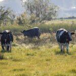 Fresian cows