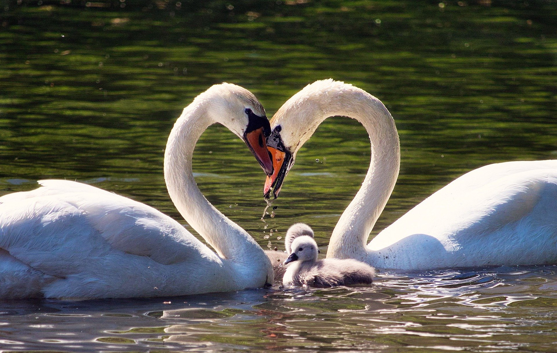 Swan family showing love